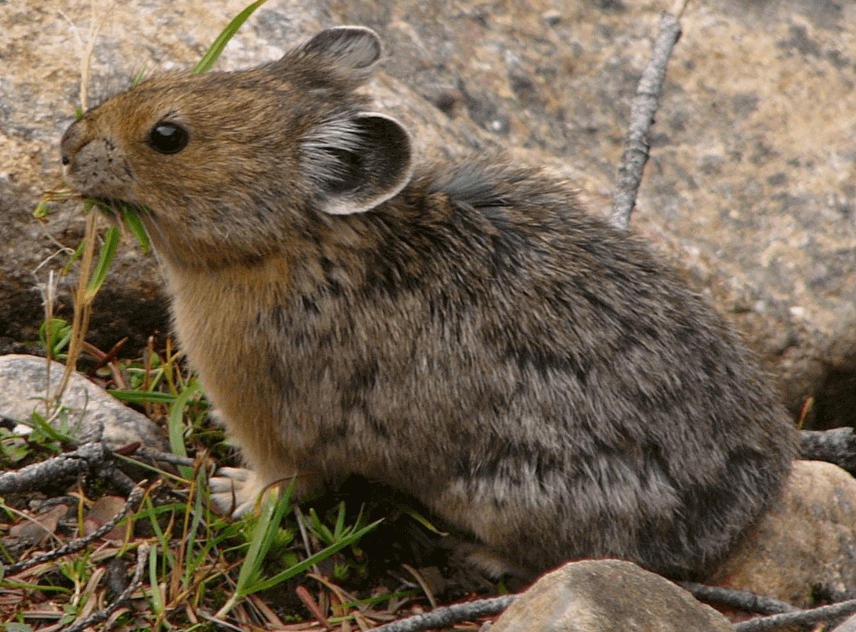 an American Pika in the nature