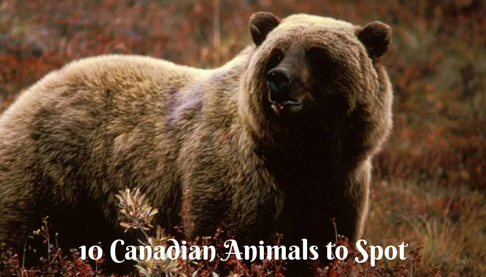 10 Animals you will find in Canada - Wildlife in Canada