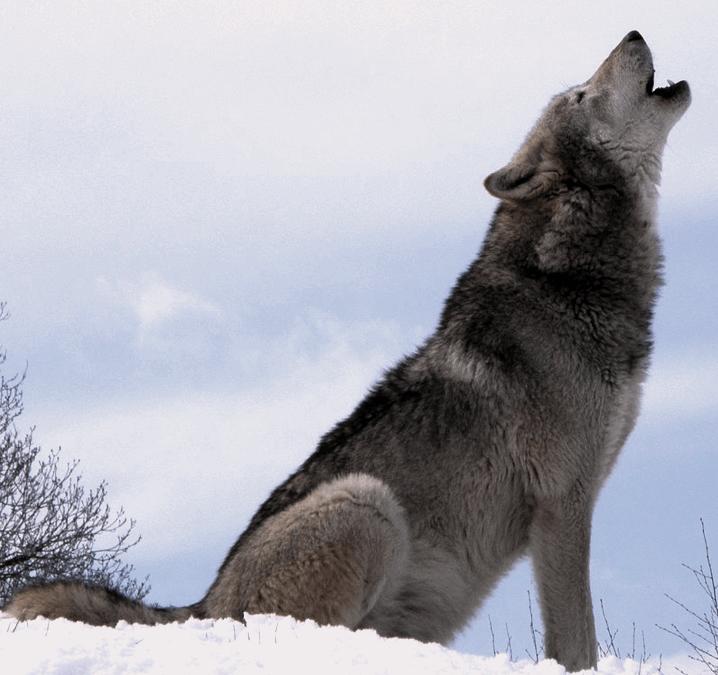 Canadian Grey Wolf