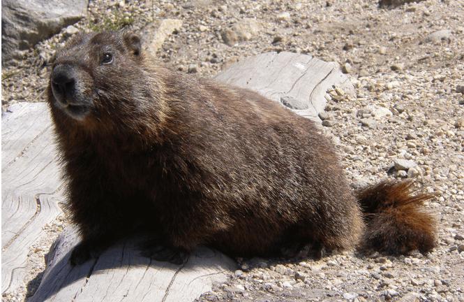 Canadian Marmot