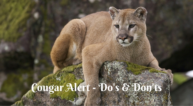 How to get a cougar to like you