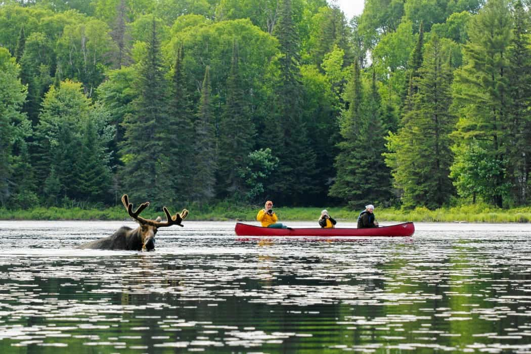 Voyageur-Quest-Canoe-Moose-Photo-by-Bob-Dowson