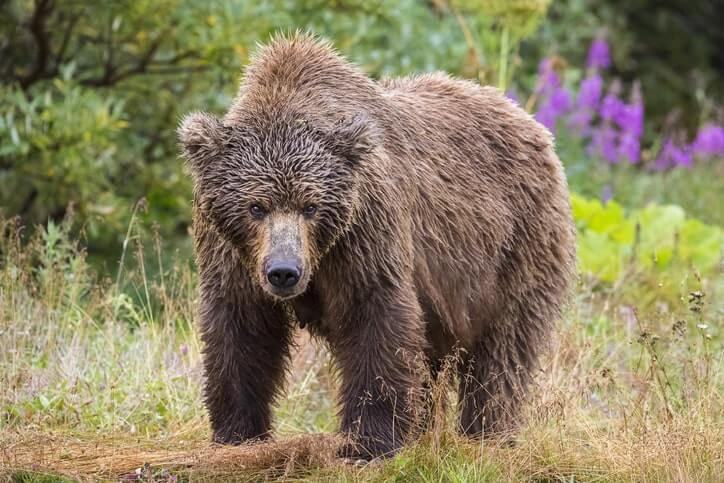 Grizzly bear in Canada