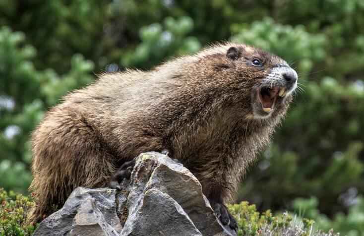Hoary Marmot In Canada
