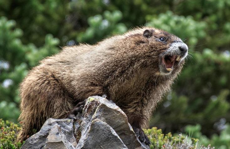 Hoary Marmot Canada
